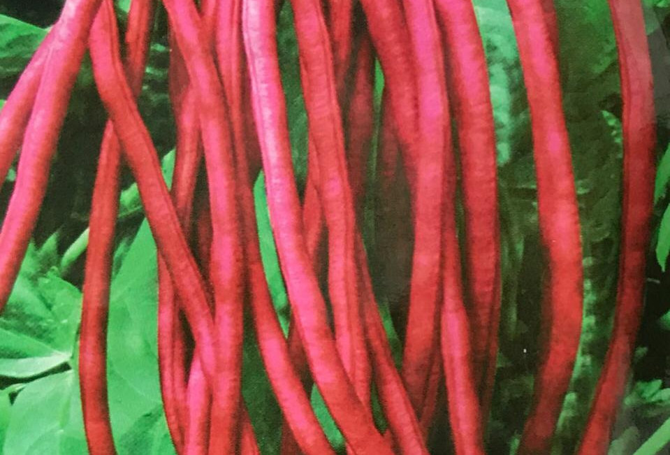 SC115- Vegetable Seed   Red Cowpea