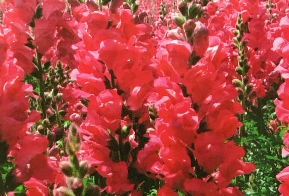 FA181 - Flower Seed   Common Snapdragon