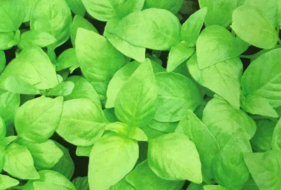 SD041 - Vegetable Seed   Catnip