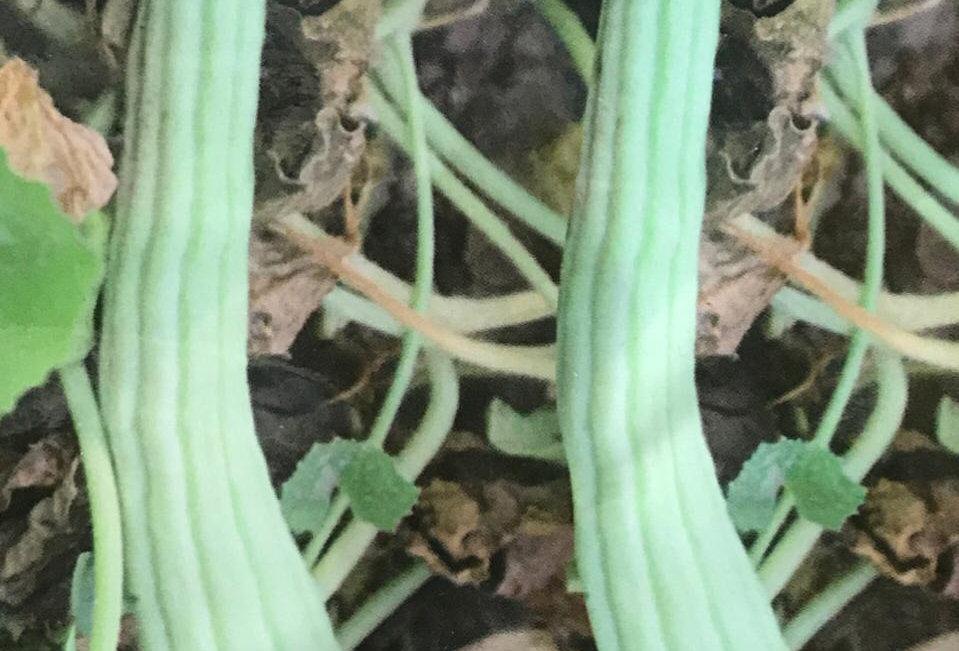 SB119- Vegetable Seed   Cucumber