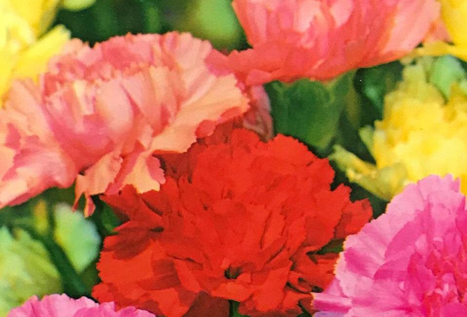 FJ006 - Flower Seed  Carnation