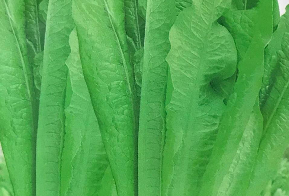 SC099- Vegetable Seed  Leafy Lettuce