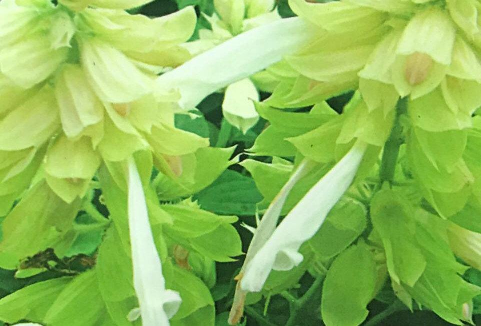 FA207 - Flower Seed   Sage