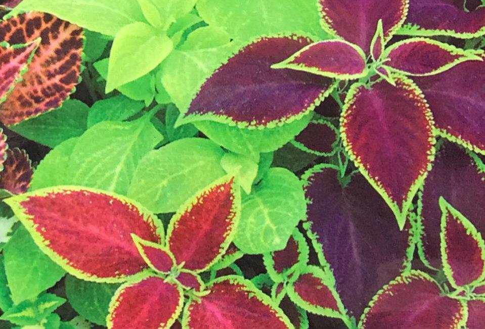 FF007 - Flower Seed  Common Garden Coleus