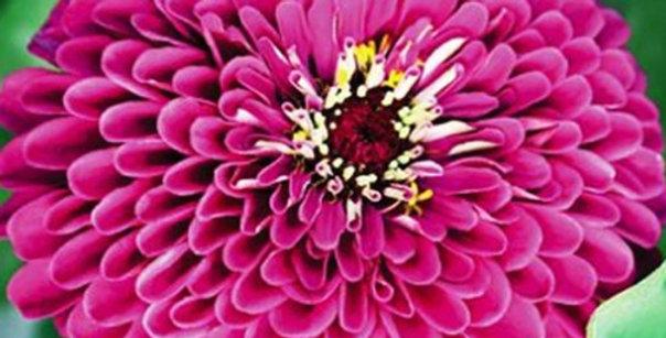 Flower seeds-SA126