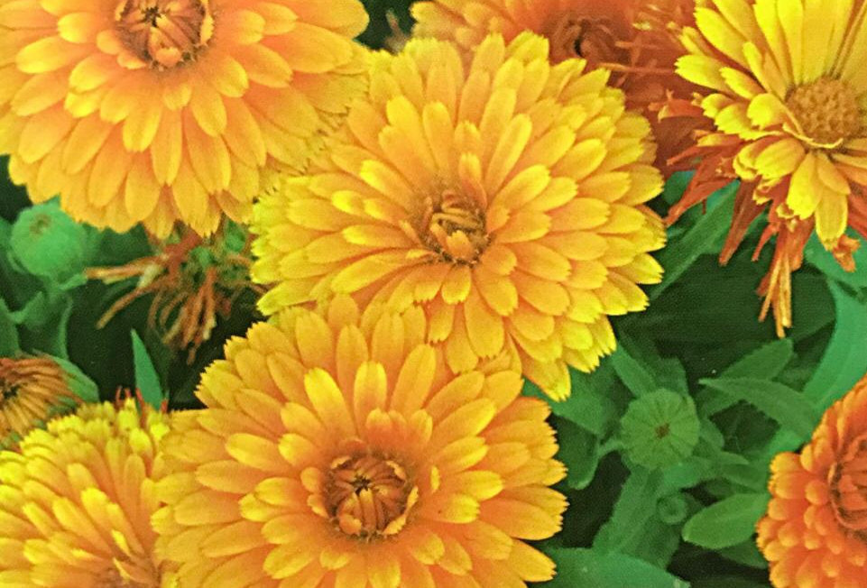 FA198 - Flower Seed   Pot Marigold