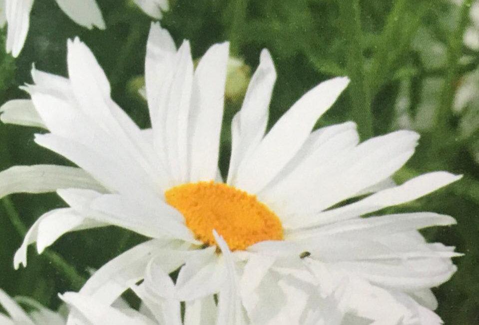 FA093 - Flower Seed   Biger Leucanthemun