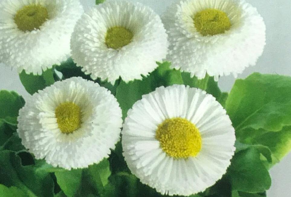 FA228 - Flower Seed   Daisy