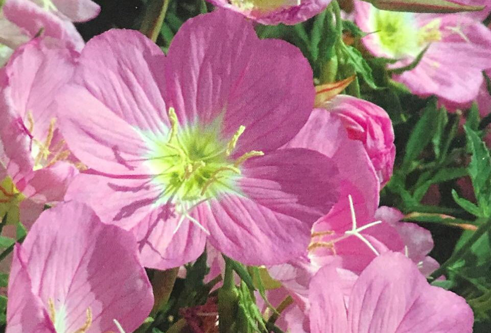 FA222 - Flower Seed   Fragrant Eveningprimrose