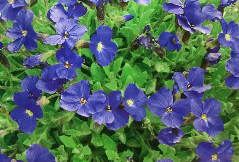 FA163 - Flower Seed   Violet Queen