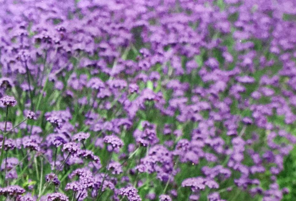 FA137 - Flower Seed   European Verbena Herb