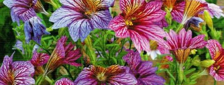 Flower seeds-SA211