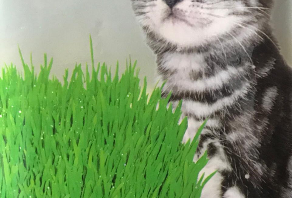 SL001 - Vegetable Seed       Cat grass