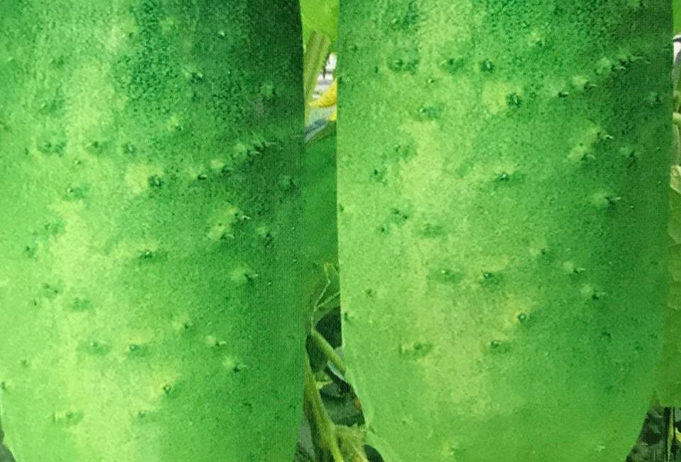 SC072 - Vegetable Seed  Cucumber
