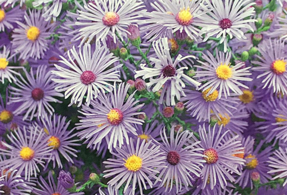 FA236 - Flower Seed   Alpine Aster