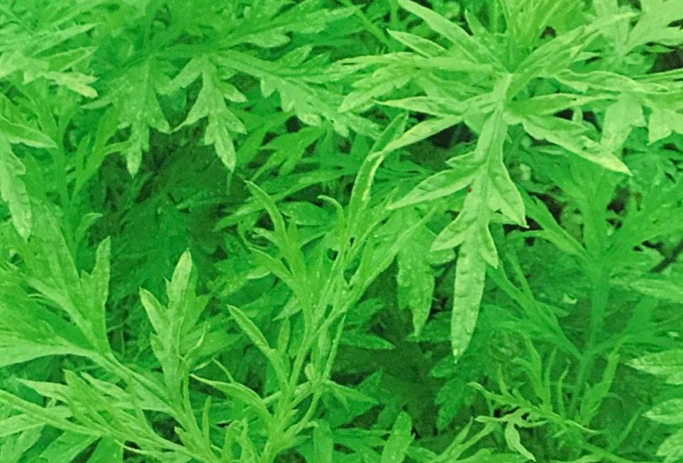 SD042 - Vegetable Seed   Aromantic Blumea