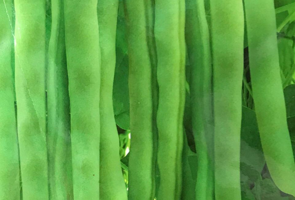 SC133- Vegetable Seed    Green Bean