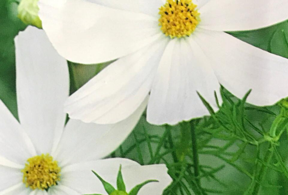 FA178 - Flower Seed   White Common Cosmos