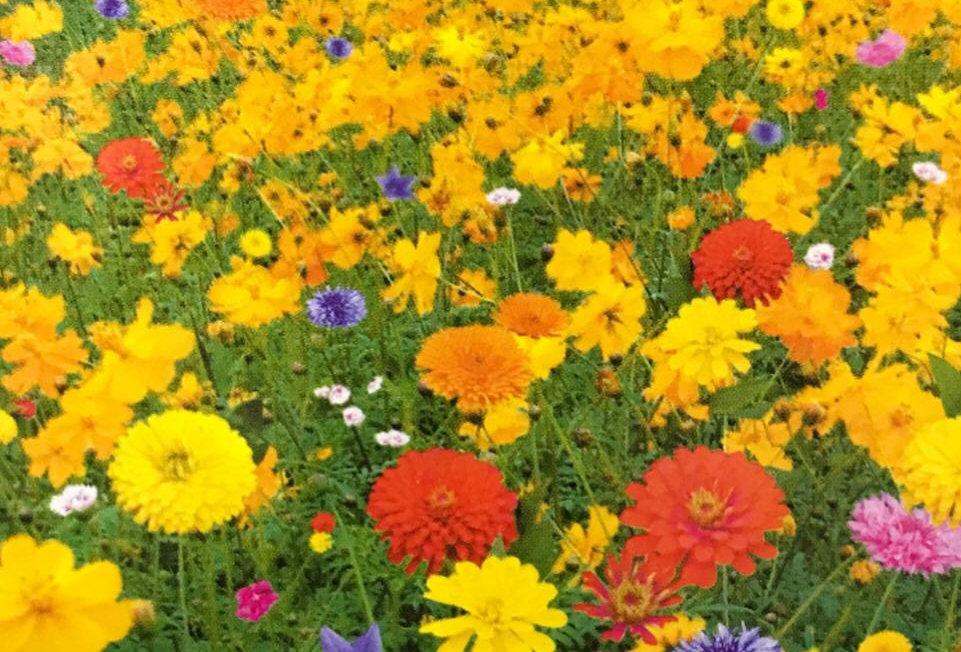 FK003 - Flower Seed   Medium Height Wildflowers Mix
