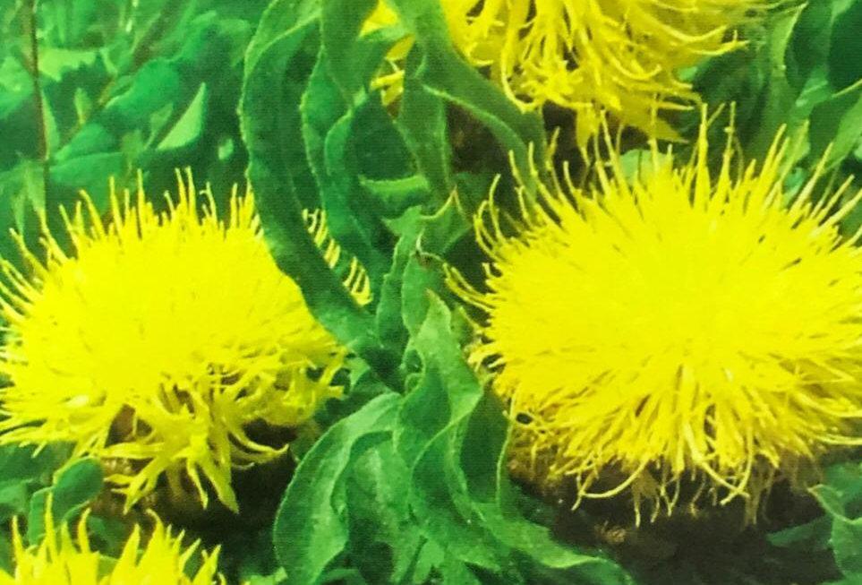 FA139 - Flower Seed   Perennial centaurea