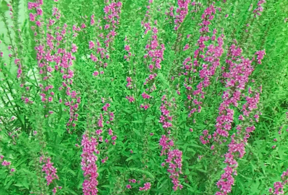 FA122 - Flower Seed   Loosestrife