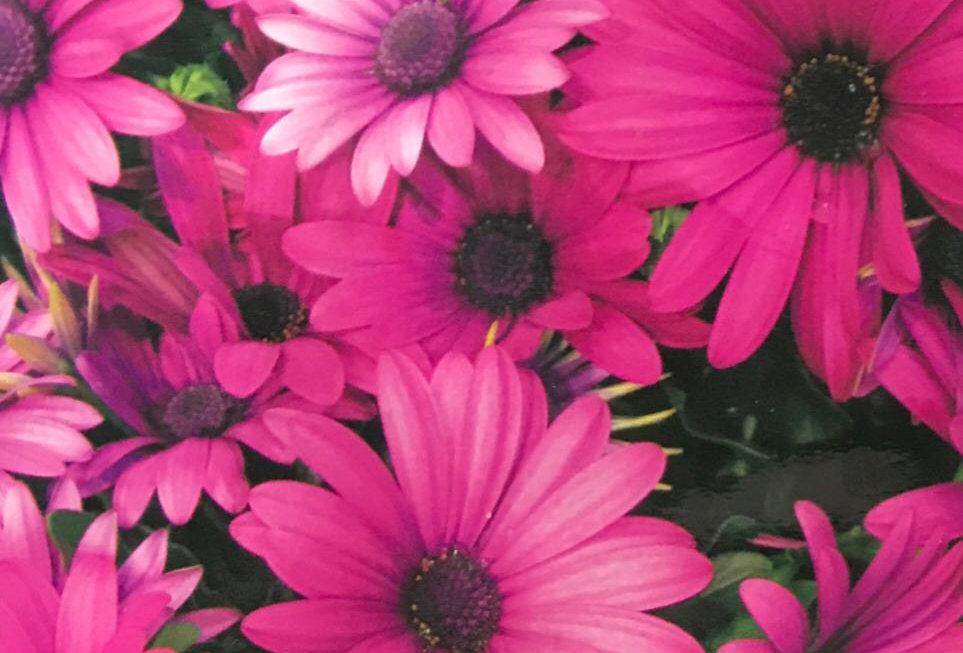 FA162 - Flower Seed   Transvaal Daisy