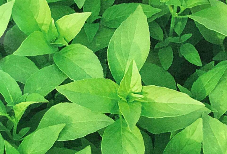 SD043 - Vegetable Seed   Basil