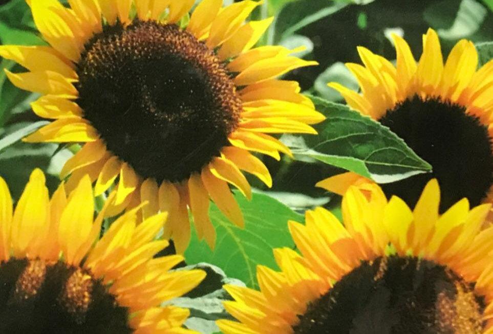 FA297 - Flower Seed   Sunflower