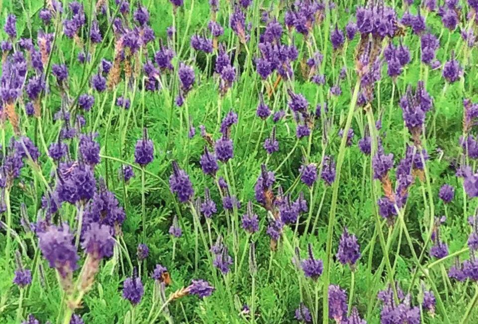 FD051 - Flower Seed  Lavendula Pinnat