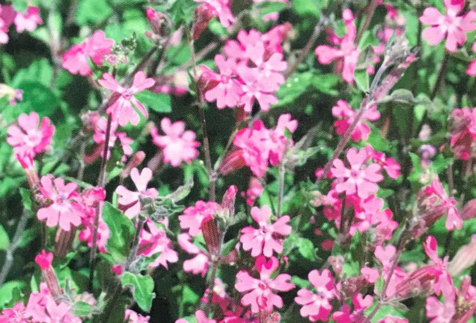 FA101 - Flower Seed   Nutate Catchfly