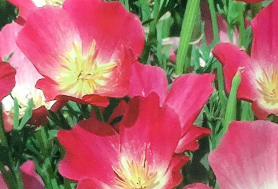 FA120 - Flower Seed   California Poppy