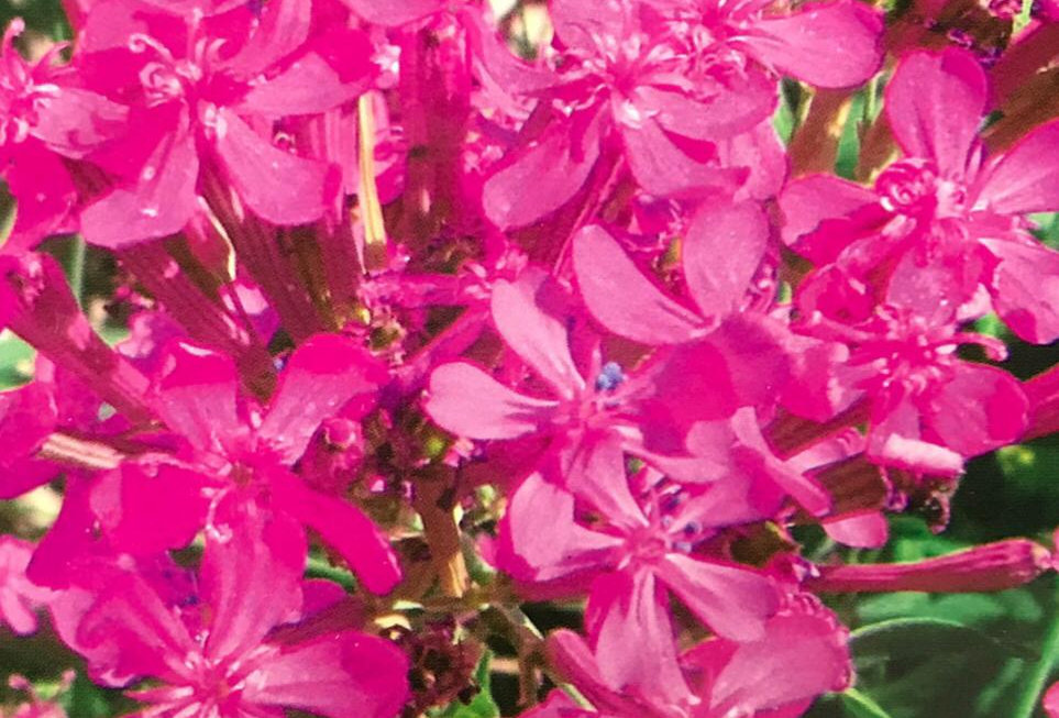 FA119 - Flower Seed   Catchfly