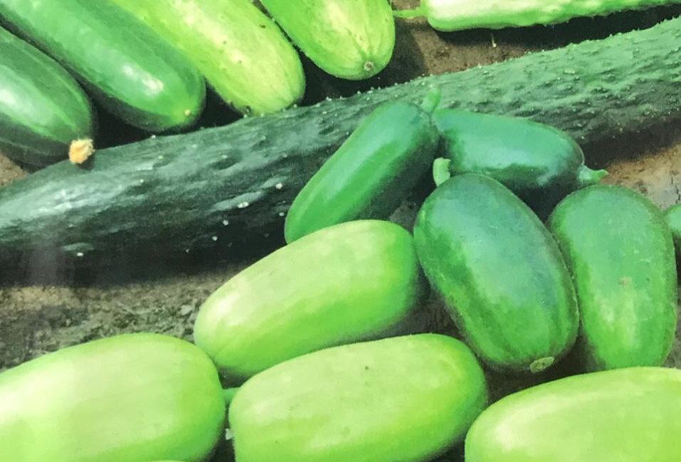 SC104- Vegetable Seed  Cucumber