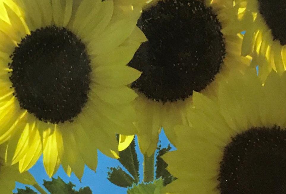 FA296 - Flower Seed   Sunflower