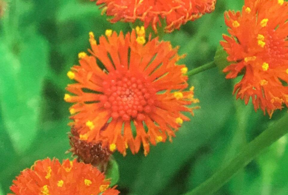 FA128 - Flower Seed   Sowthistleleaf Tasselflower