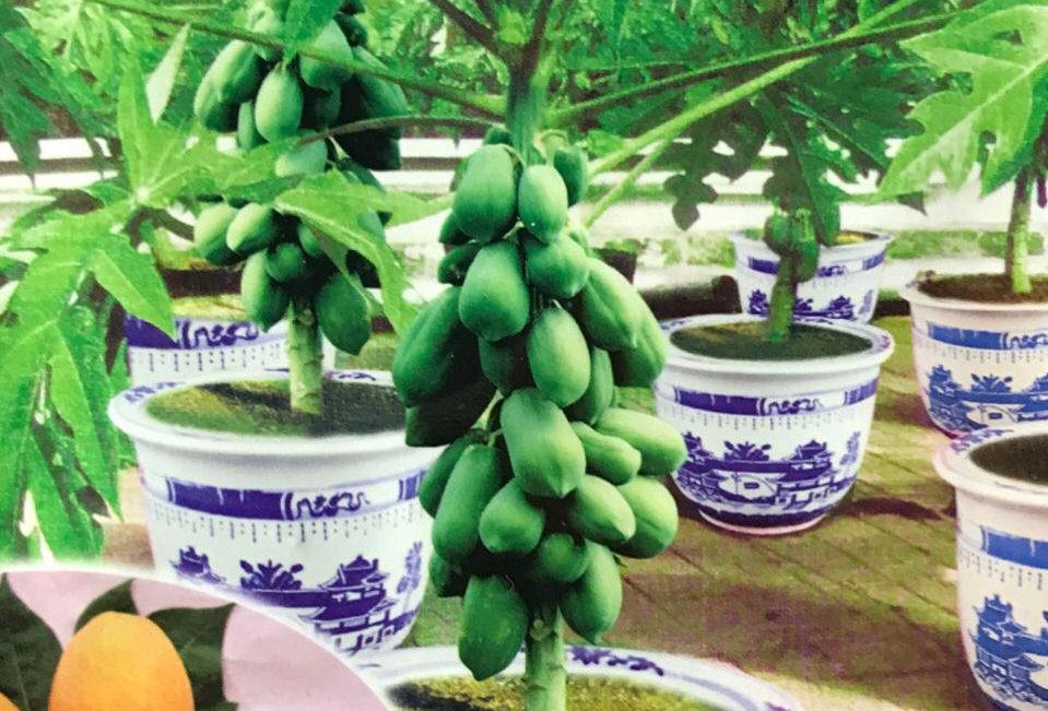 S227- Vegetable Seed  Papaya