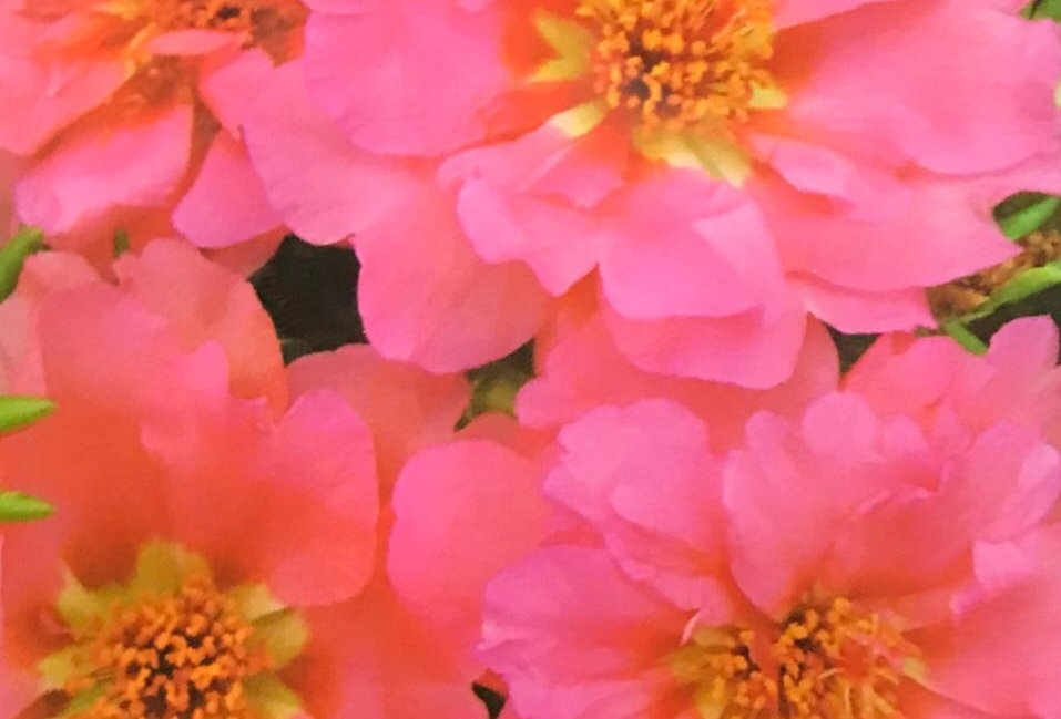 FA040 - Flower Seed  Pink Sun Plant