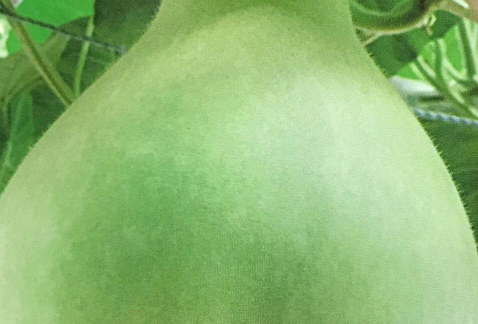 SB092- Vegetable Seed  Turbinate Calabash
