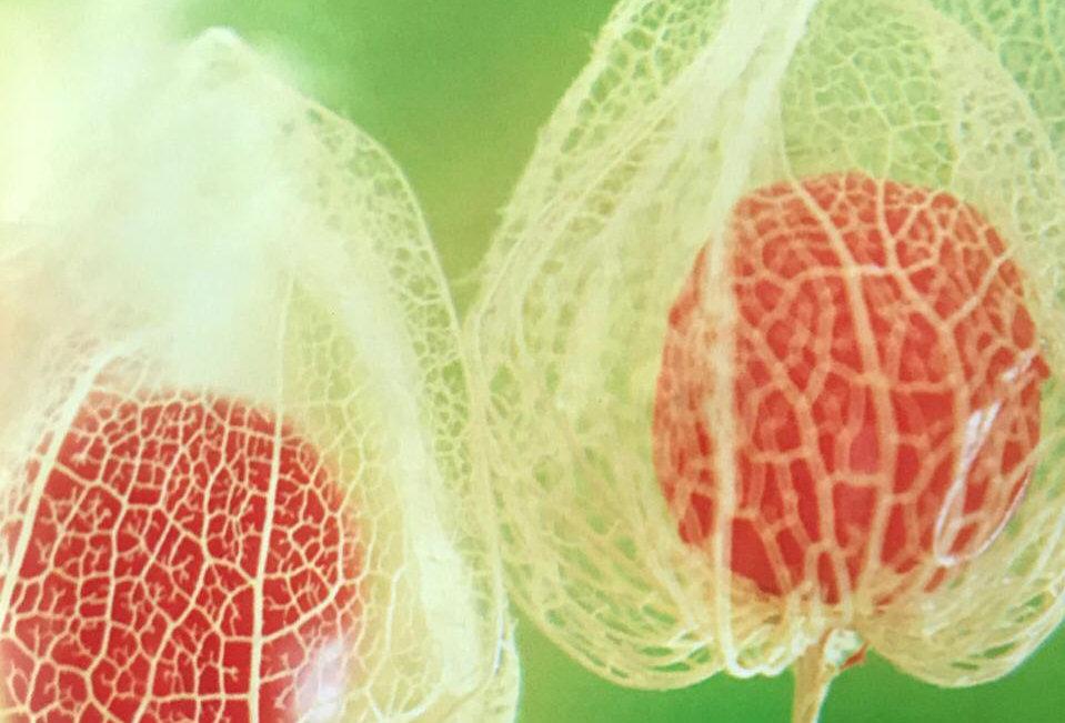 SB049 - Vegetable Seed Ground Cherry