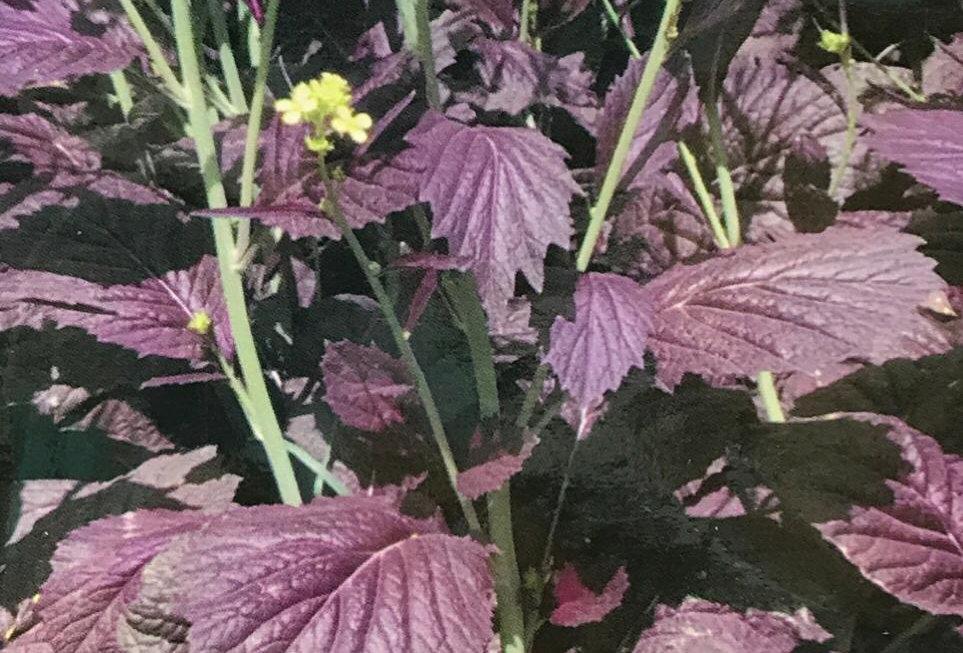 SC153- Vegetable Seed    Purple Mustard