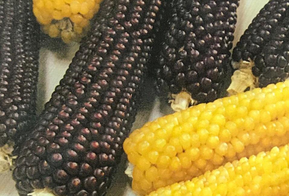 SB102- Vegetable Seed  Maize