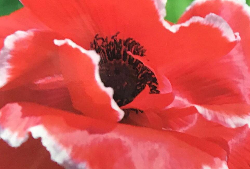 FA295 - Flower Seed   Corn Poppy