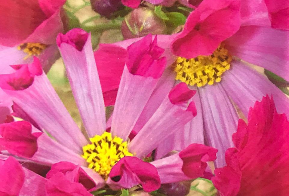 FA179 - Flower Seed   Common Cosmos