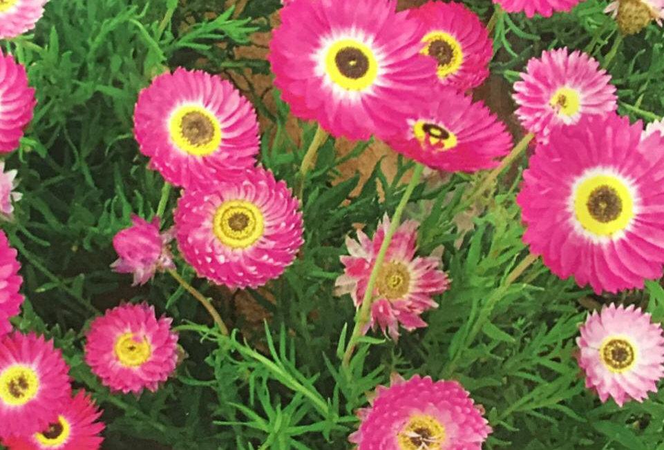 FA220 - Flower Seed   Everlasting