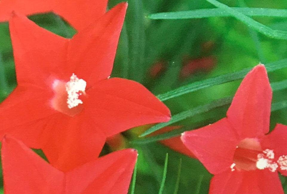 FA026 - Flower Seed  Cypressvine Starglry