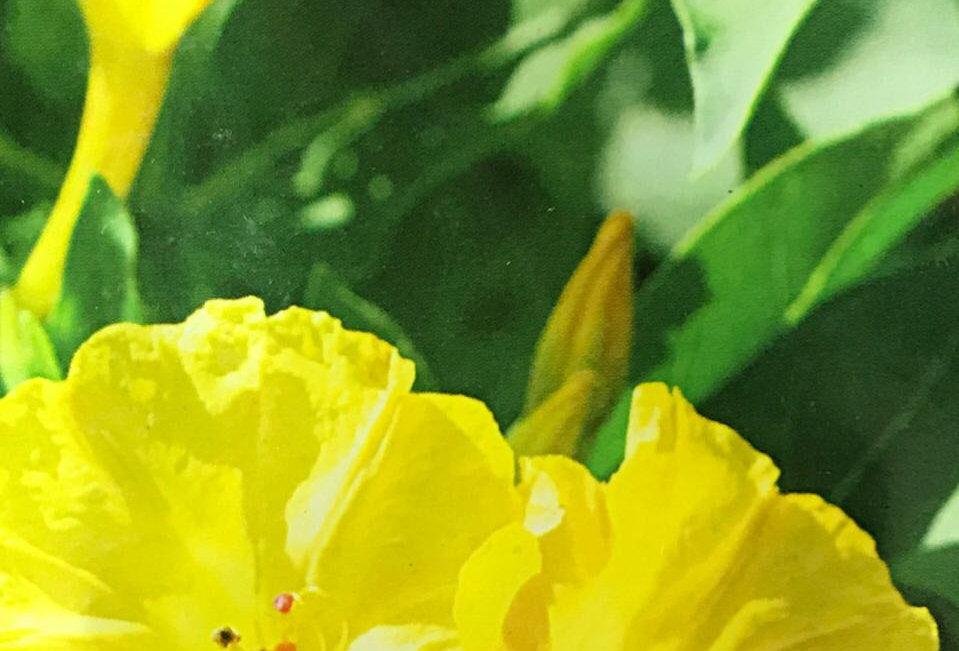 FA106 - Flower Seed   Four O'Clock