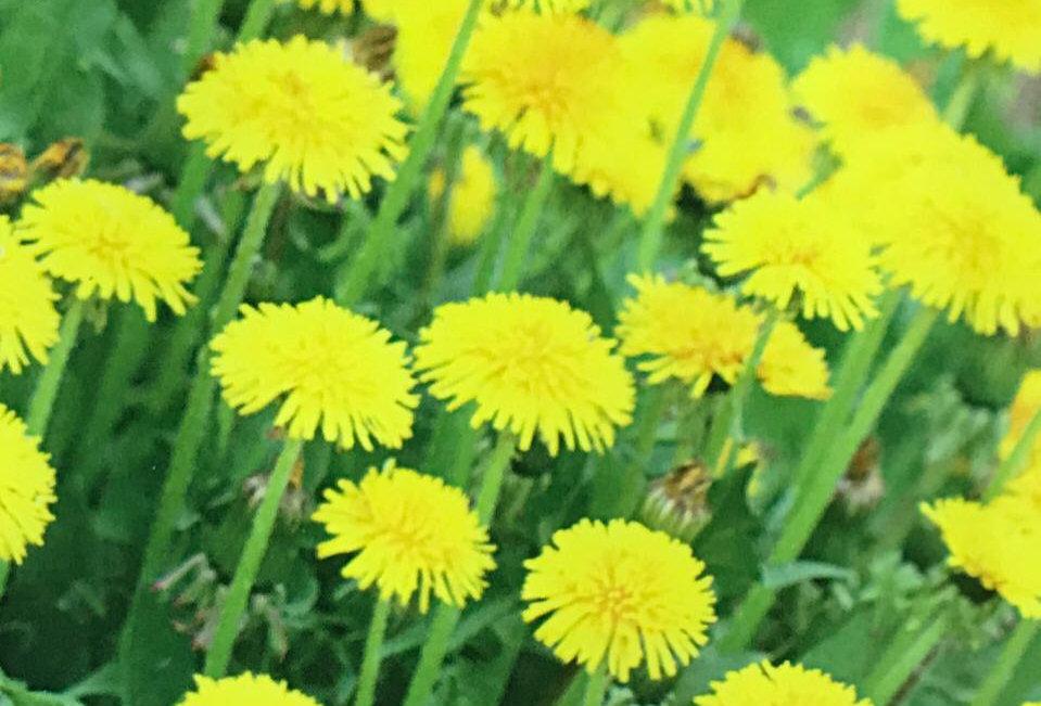 FE007 - Flower Seed  Mongol Dandelion