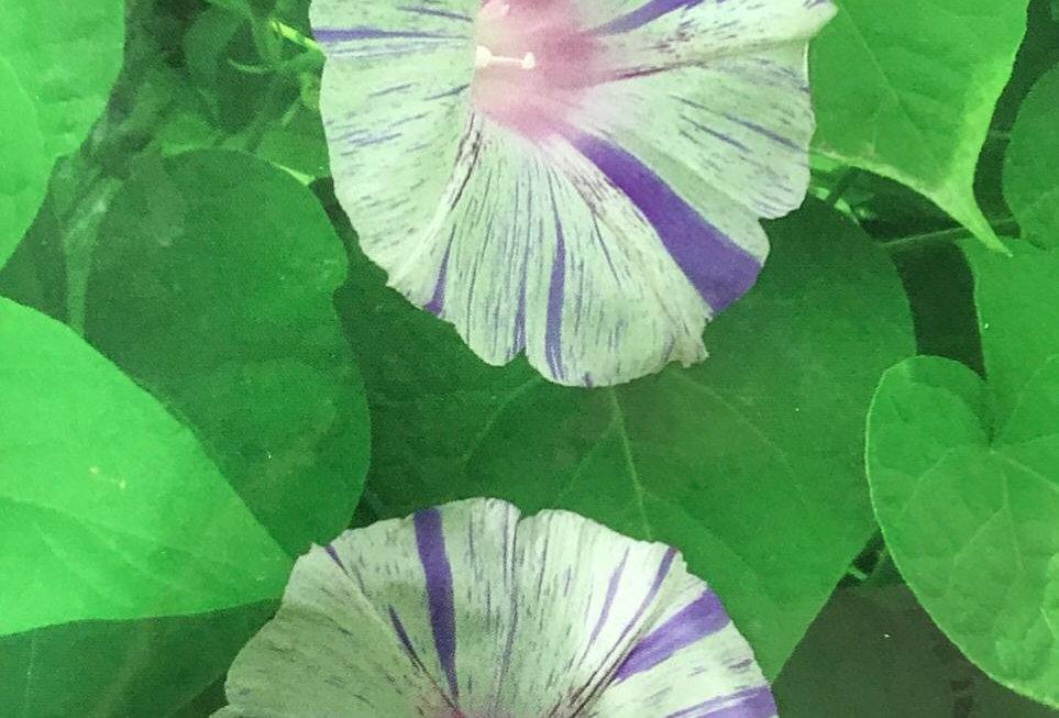 FA125 - Flower Seed   Morning Glory