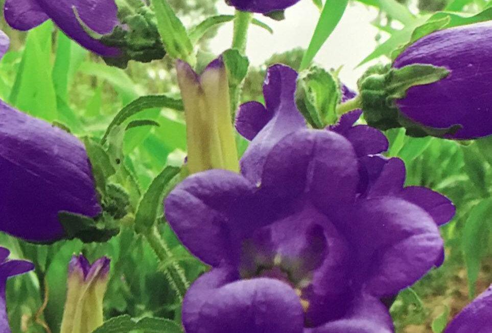 FA267 - Flower Seed   Canterburybells