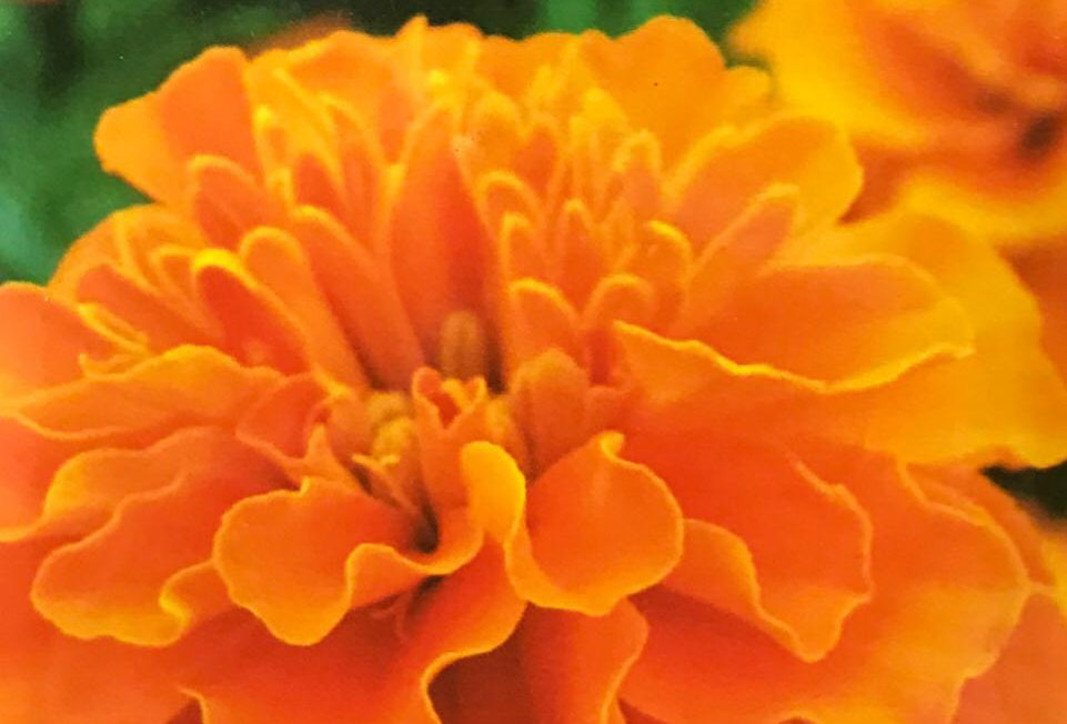 FA019 - Flower Seed  French Marigold